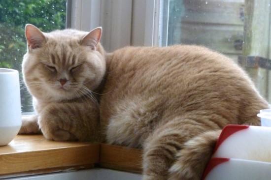 mr bear the british shorthair cat